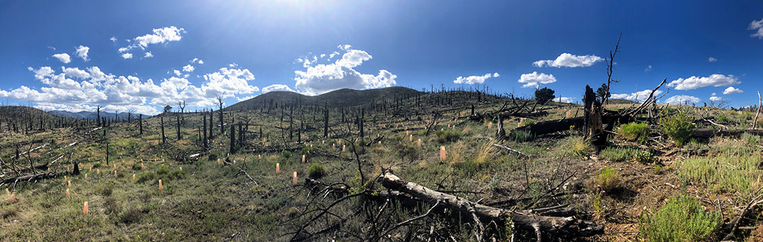Plantings targeted areas where the fire killed all the seed-bearing trees, and seedlings were planted in clumps and patches to provide a nuclei of tree regeneration. Eventually, the trees will mature and help to re-seed the wider landscape.