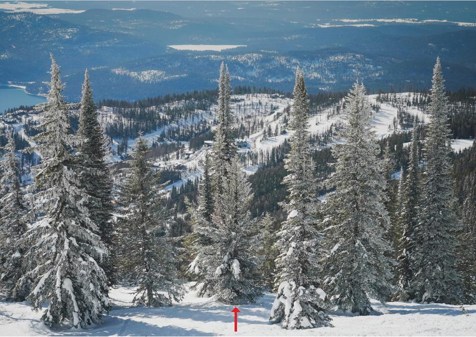 Whitebark pine in forest landscape