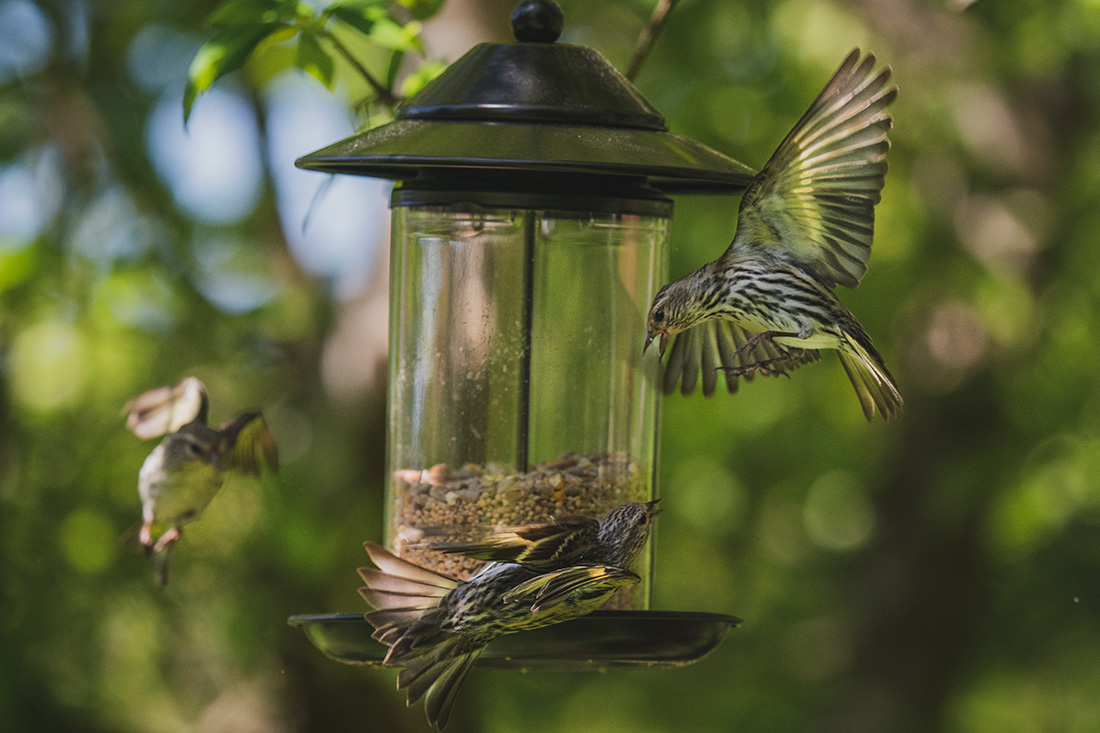 Battles erupt as more pine siskins try to fit at the feeder. The siskins are bold and confident birds for their delicate size and have been showing up in growing numbers.