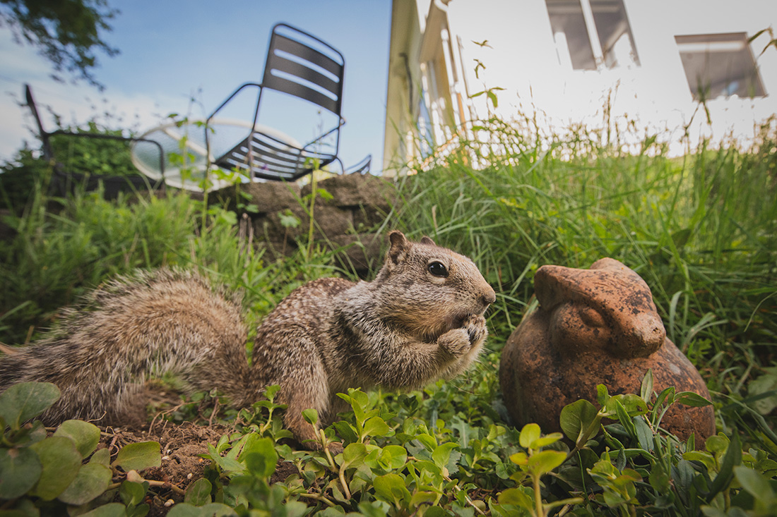 Life imitating art over here. This is a California ground squirrel we call Clementine who forages from the feeders and around the yard. And who says you can't use fancy techniques in not-fancy settings? Go ahead and set up a camera trap in the backyard and let the fun begin.