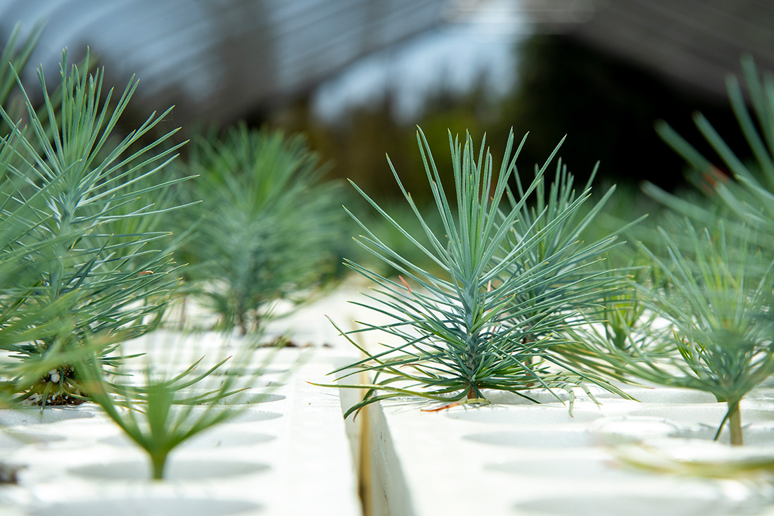: Conifer seedlings grow at the L.A. Moran Reforestation Center.