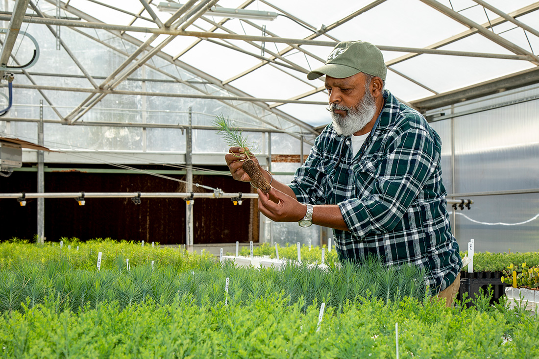 Kuldeep Singh, nursery manager, inspects the roots of a conifer seedling in the L.A. Moran Reforestation Center greenhouse in Davis, Calif.