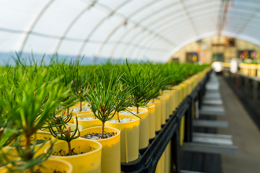Young western white pine seedlings grow in the U.S. Forest Service nursery in Coeur d'Alene, Idaho.