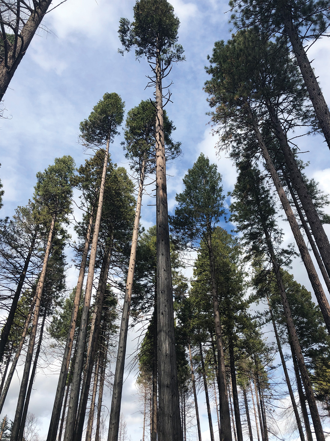 These incense cedars survived the Camp Fire. They grew up together and developed the tall lollipop shape because they were racing each other to reach sunlight. Having all their needles at the top, with bare trunks most of the way down, likely helped them survive the fire.