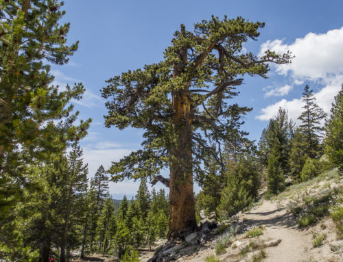 Whitebark Pine Proposed as 'Threatened' Under the Endangered Species Act