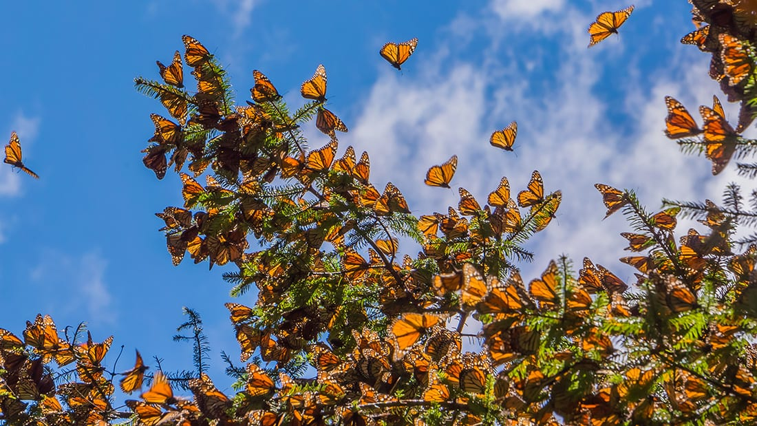 Millions of monarchs overwinter in the high-elevation forests of Michoacán, Mexico, where they cluster in oyamel firs for warmth and protection.