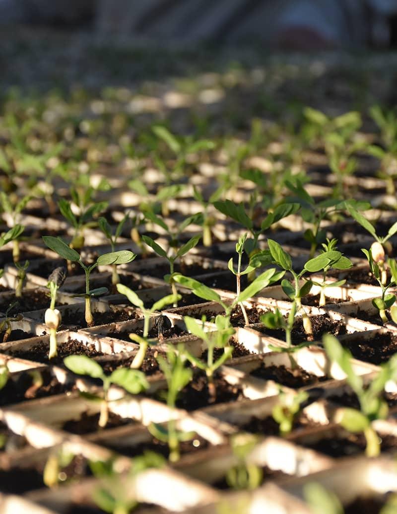 Light shining on seedlings in nursery