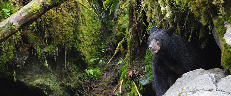 Bears make their dens in the depths of the forest, but it is their diet that returns the favor. They help fertizile the forest floor by dragging fish carcasses throughout the forest, and even their own scat enriches the soil. Additionally, bears' love of fruit helps distribute undigested seed in different parts of forest ecosystems, generating new plant growth.