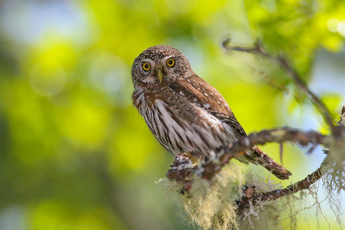 Here, he has photographed a northern pygmy owl, which make their homes in dense forests near streams in Canada, the United States and Mexico. Songbirds are the northern pygmy owl's favorite meal, so it can often be found near a group of agitated songbirds that gather to scold it.
