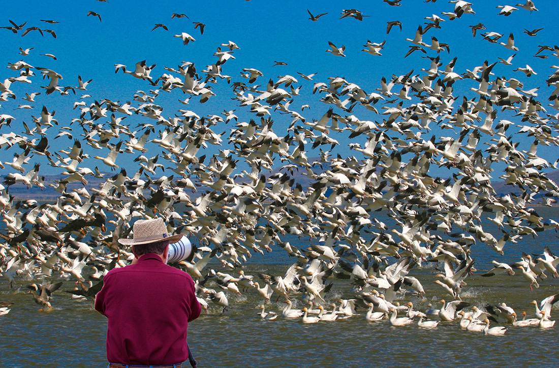 Richard Cronberg has been photographing wildlife for 40 years and sells his photos commercially in art shows, fundraising events, retail stores and online. Perhaps best known for his bird photos, Cronberg here is capturing a group of Snow and Ross's Geese taking flight at Lower Klamath National Wildlife Refuge in California.
