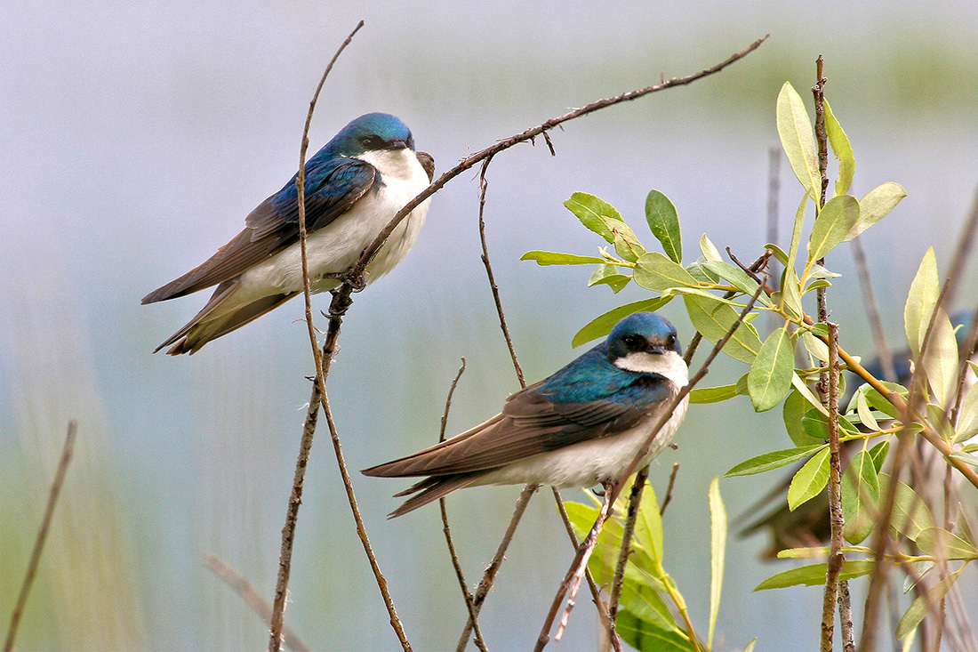 The tree swallow, found throughout much of North America, makes its nests in the cavities of trees. But when it emerges, this beautiful acrobatic bird chases flying insects through fields and wetlands.